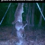 Raccoons Are Some of the Smartest Animals