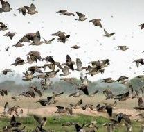 Hunting doves in Córdoba