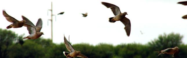 Dove hunting Cordoba
