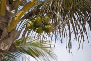 coconut_1_197288
