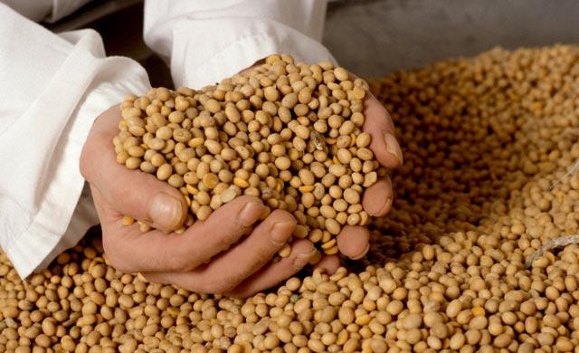 Mão de homem cheia de grãos de soja