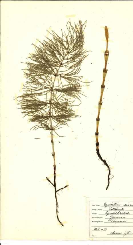 Oppikoulussa kerätty kasvio. Leppävirran kotiseutumuseo sai keväällä lahjoituksena 70 vuotta sitten kerätyn kasvion. Aineisto on nyt skannattu ja se julkaistaan elokuussa verkkonäyttelynä ja on tutustuttavissa kirjaston kotiseutukokoelmassa. Kuvassa Equisetum arvense, peltokorte.