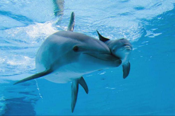 لسان الدلفين