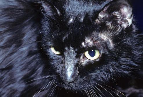 Как выглядит лишай у кошек, и как его можно лечить? :: SYL.ru