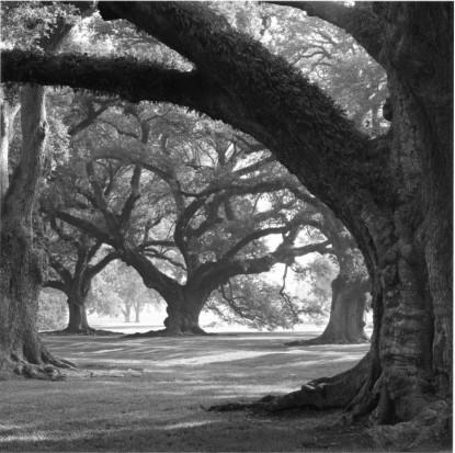Oak BW