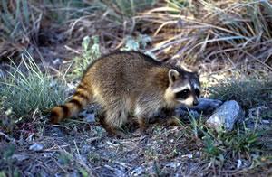 raccoon1sm