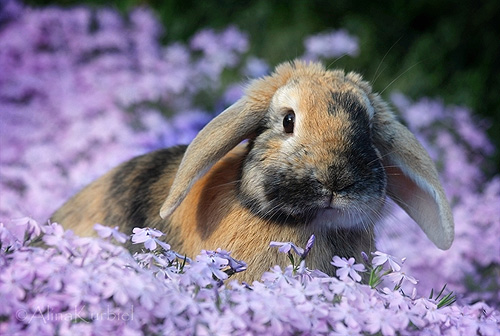 rabbit_in_spring