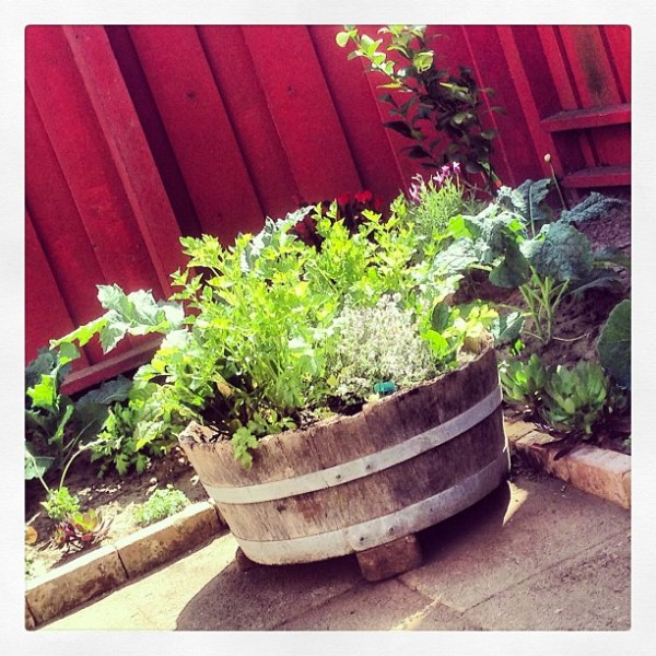 in bloom - arugula, spinach, lettuce, kale, chard, bok choy & herbs galore in our edible garden :)