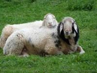 Bild - Schafe