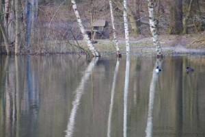Wasserspiegelung mit Enten