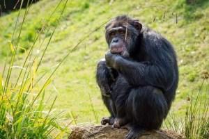 Schimpanse 2 vor 1/2 bearbeitet