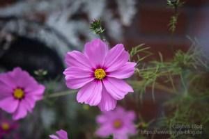 Rosa Blüte Nr. 3 mit Soligor 80-200 mm