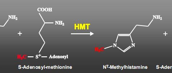 Conversion of S-Adenosyl-Methionine (SAMe) to N-methylhistamine via transfer of a methyl group to Histadine.