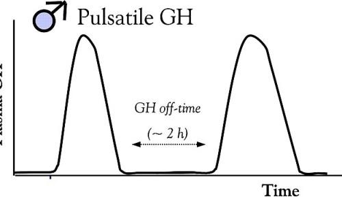 Male pulsatile GH release pattern