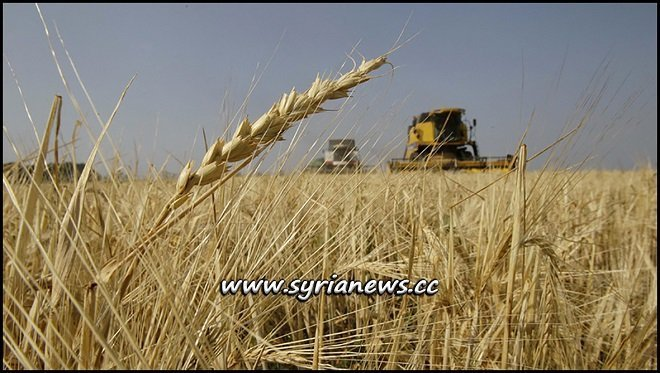 Syrian Wheat