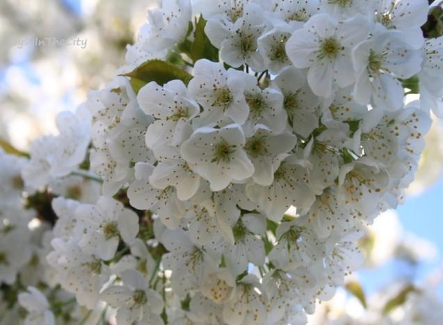 cerisier fleurs blanches sysyinthecity