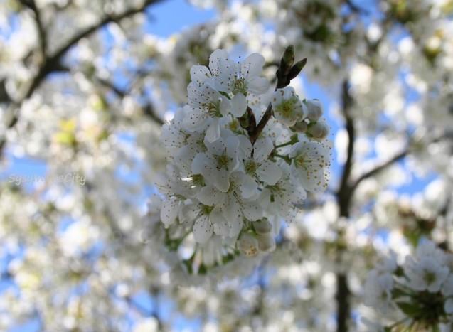 sysy in the city cerisier
