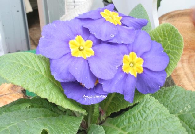 violette sysyinthecity