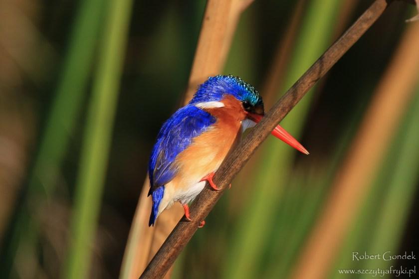 Ptaki w Afryce: Zimorodek malachitowy