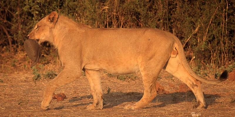 Lew i noga słonia