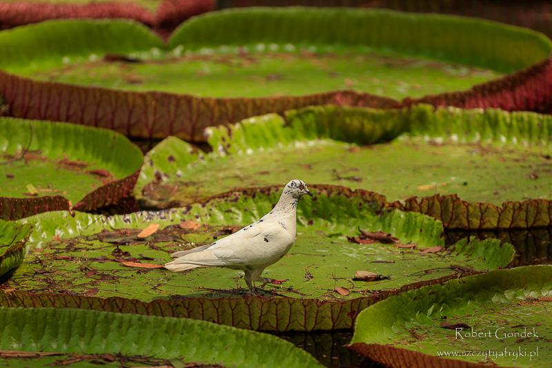 Ogród botaniczny na Mauritiusie