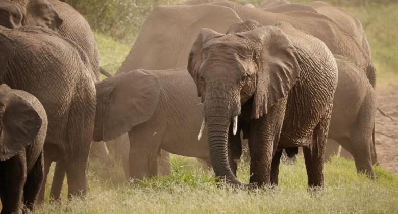 Stado słoni w Lake Manyara National Park