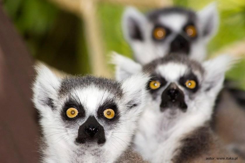 Madagaskar - lemury