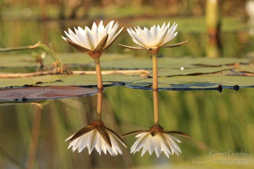 Roślinność Okawango