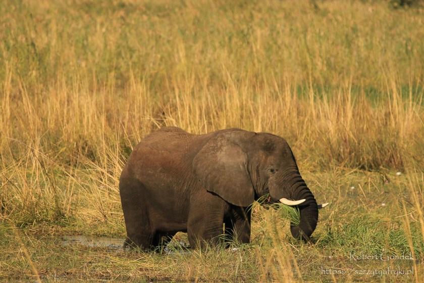 Słoń w rezerwacie Mahango