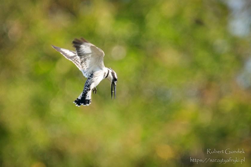 Ptaki w Ghanie – Rybaczek srokaty