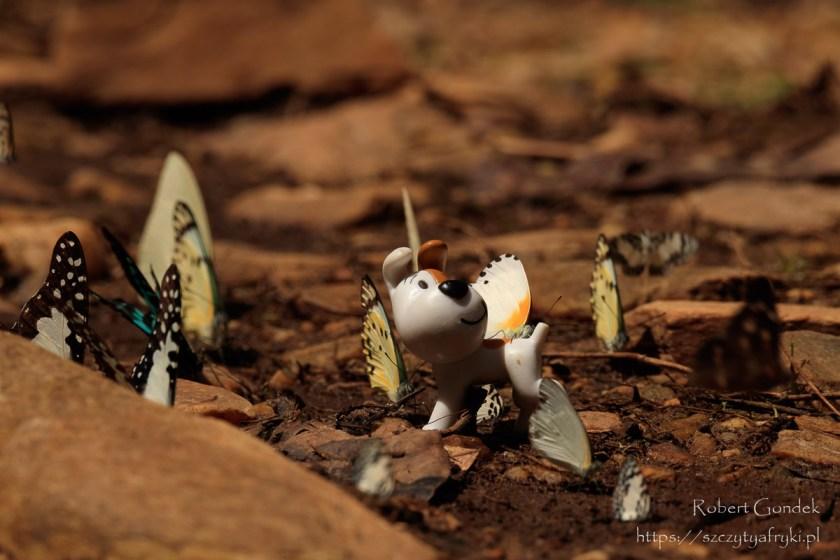 Reksio i motyle w Ghanie