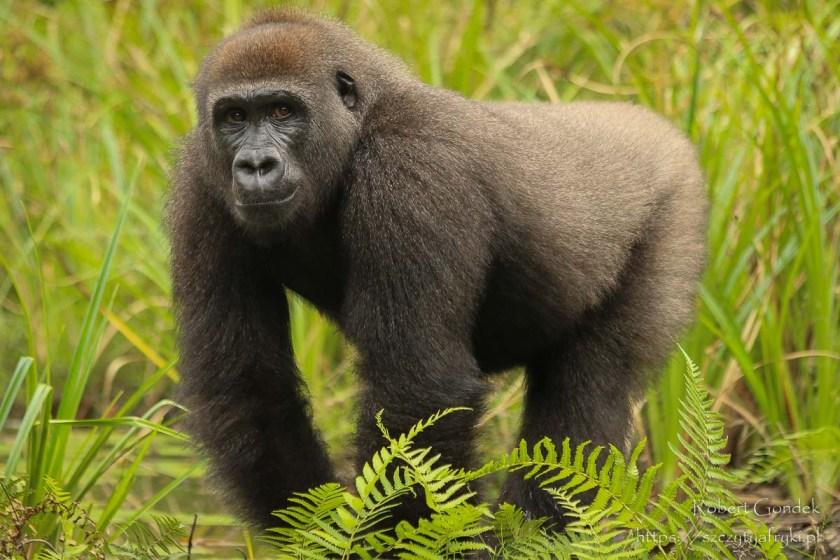 Park Lekedi w Gabonie