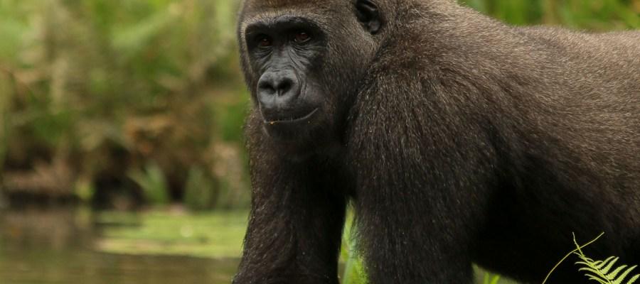Afrykański goryl nizinny