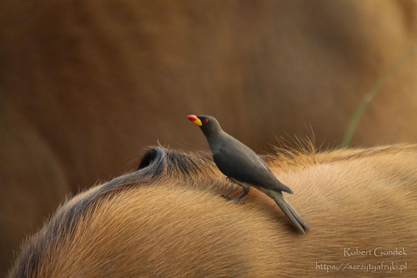 Park Lekedi w Gabonie - Bąkojad żółtodzioby
