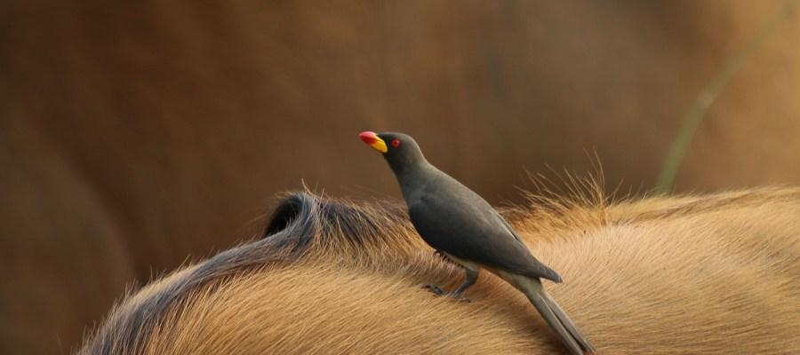 Bąkojad żółtodzioby w Gabonie