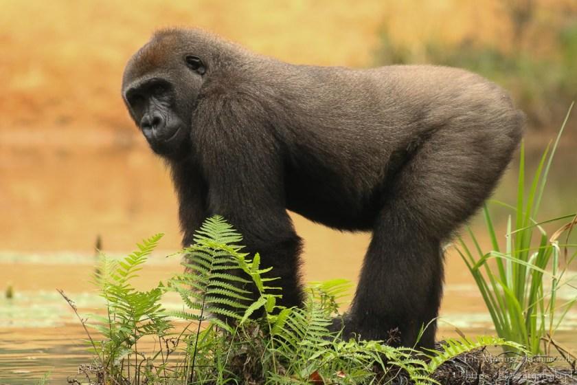 Goryle nizinne w Gabonie
