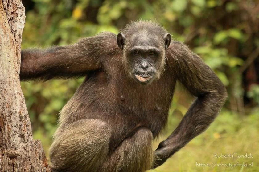 Szympans w Parku Lekedi