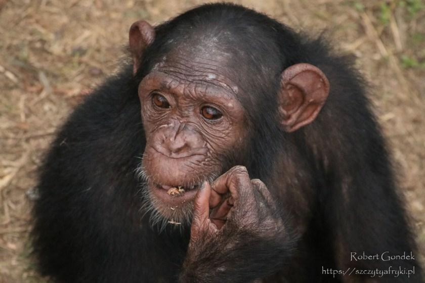 Szympans z Gabonu