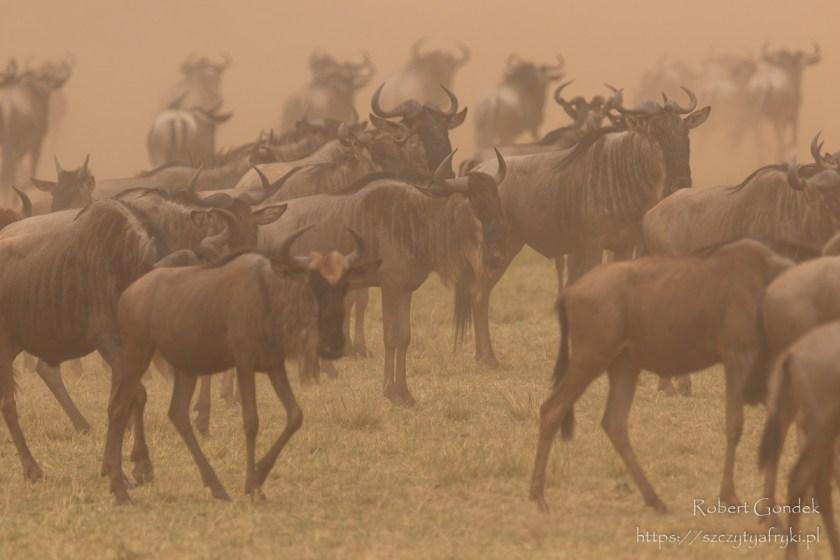 Wielka MIgracja. Gnu w rezerwacie Masai Mara w Kenii