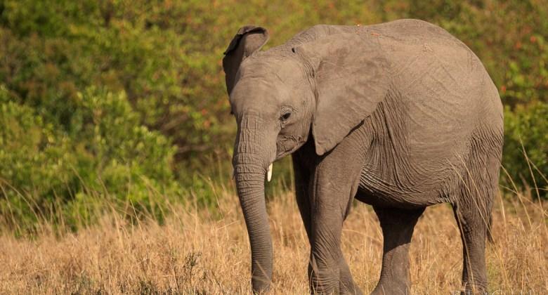 Słoń w rezerwacie Masai Mara w Kenii