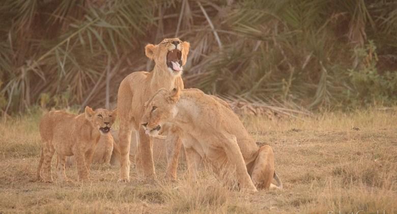 Spotkanie z lwami w Kenii