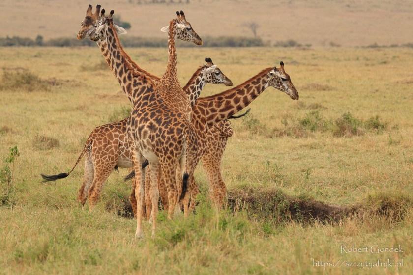 Żyrafy z Masai Mara