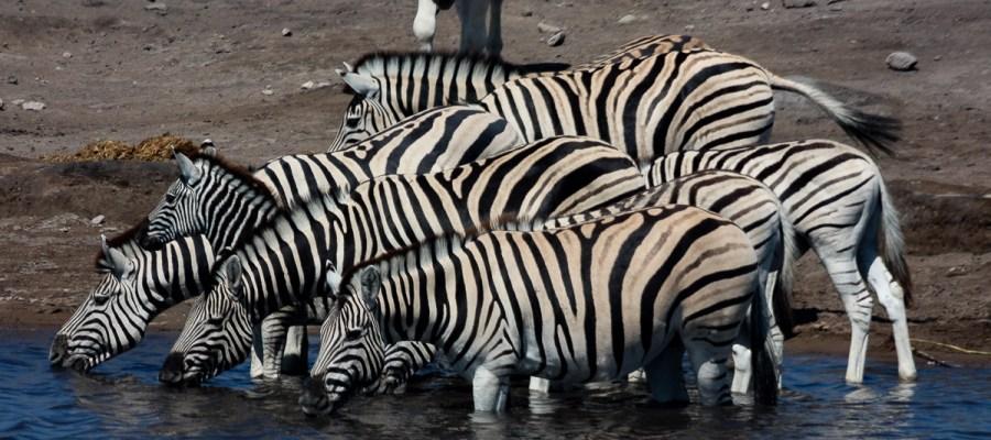 Zebry z Namibii
