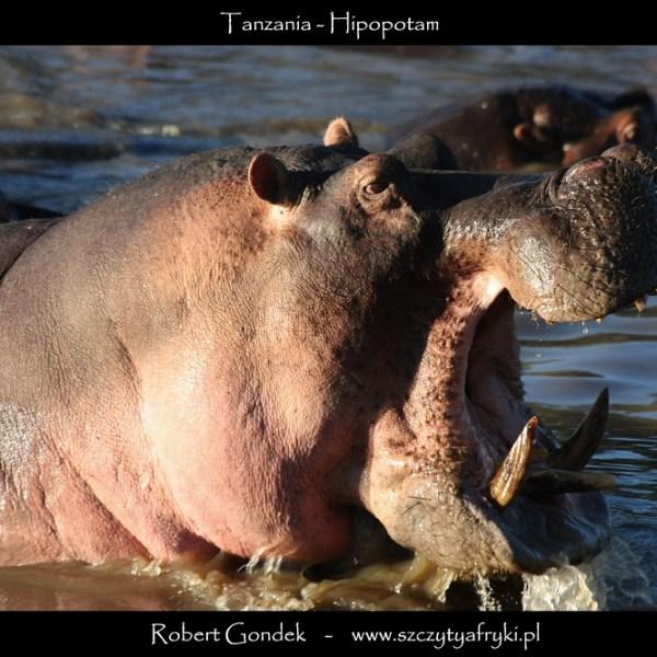 Zdjęcie hipopotama z Tanzanii