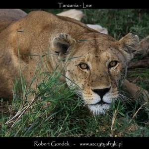 Zdjęcie lwa z Tanzanii