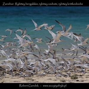 Zdjęcie rybitw z Zanzibaru