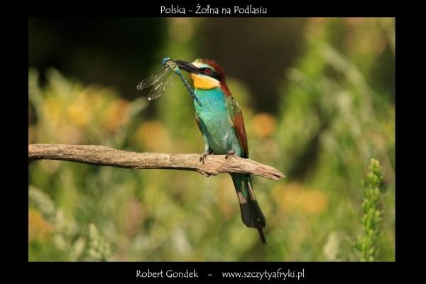 Zdjęcie żołny z Polski