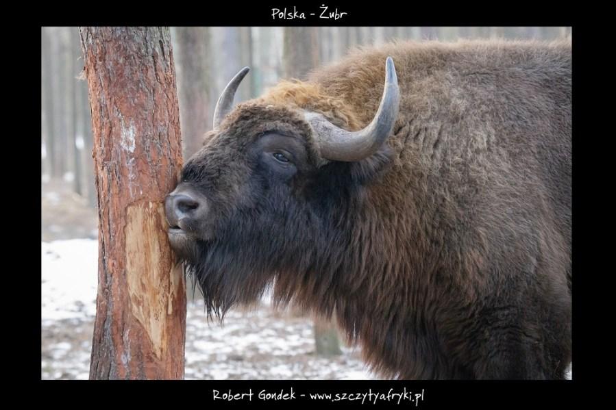 Zdjęcie żubra z Polski