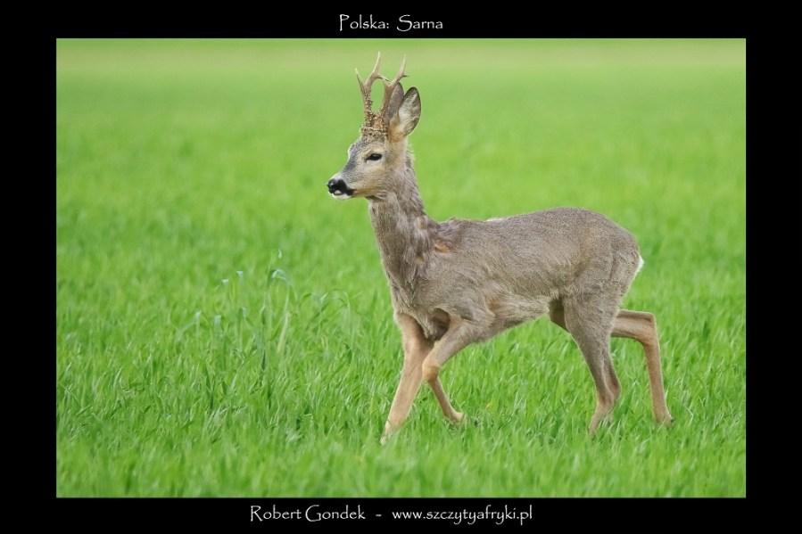 Zdjęcie sarny z Polski