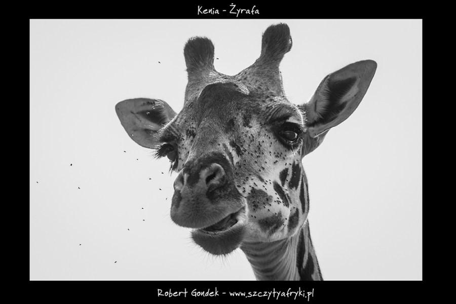Czarno białe zdjęcie żyrafy